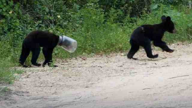 Real bear with their head stuck in a jar